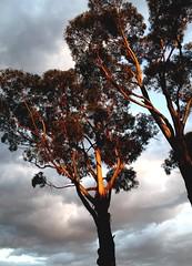 Sunset in Swansea, Tasmania with the light falling on a gum tree (nick taz) Tags: gumtree swansea tasmania australia dusk sunset light eucalyptus