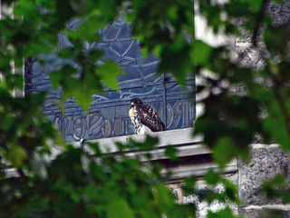 Cathedral Hawk Fledgling (1791)