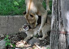 Fun With Mom (starbuck77) Tags: mom dc washington nikon lion nationalzoo lioness lioncub d90