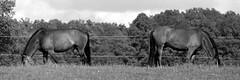 Two Horses (christian.riede) Tags: horses film minolta 14 pferde backtoback koppel x700 200mm cavalino adox nofaces silvermax pjotre