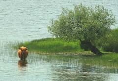 Coo....ling off in Loch Venacher (cocopie) Tags: lonetree heilancoo lochvenacher