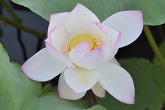 () Tags: lotus     indianlotus sacredlotus nelumbonucifera  beanofindia