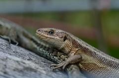 Viviparous lizard, Zootoca vivipara (willjatkins) Tags: britishwildlife viviparouslizard zootocavivipara britishreptiles hertfordshirewildlife britishlizards ukreptilesandamphibians britishamphibiansandreptiles hertfordshirereptiles