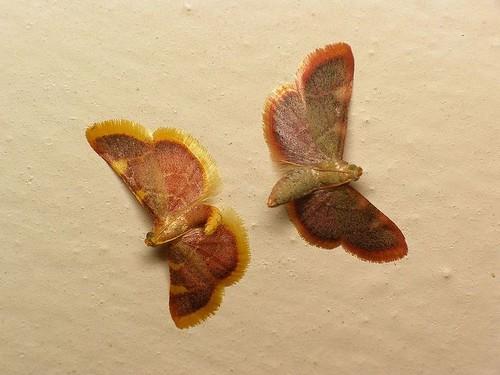 kopulacja motyli
