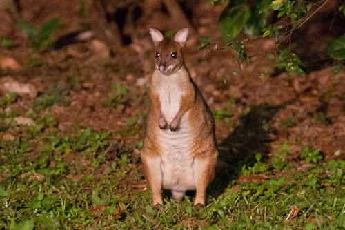 Red-legged Pademelon 130628