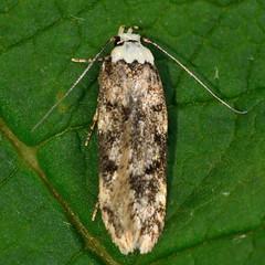 White-shouldered house moth (Endrosis sarcitrella) (Ian Redding) Tags: uk fauna insect moth british invertebrate