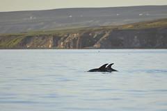 White-beaked Dolphin (Lagenorhynchus albirostris) (Wildlife Fred25) Tags: dolphin dauphin lagenorhynchus albirostris whitebeakeddolphin lagenorhynchusalbirostris whitebeaked dauphinbecblanc lagnorhynquebecblanc lagnorhynque