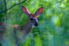 fawn ~ Alex Dow Field (Tall Grass Prairie), Nichols Arboretum, Michigan (j van cise photos) Tags: fauna bokeh michigan deer fawn scamper sacrednature afsnikkor70200mmf28gedvrii continentalunitedstates nikond7100 pressltoenlarge