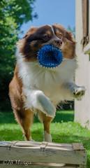 chien sauteur (nebajmeta14) Tags: dog chien love cat blackwhite eyes chat yeux porte couleur noirblanc urbain 50mm18 mgot carreau d7000