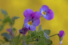 And there is pansies, that's for thoughts. (AvQuu) Tags: flowers flores nature fleurs natureza pansies pense amoresperfeitos mimamorflores