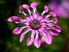 Height of Summer (David S Wilson) Tags: pink flowers england flower floral daisy ely fens 2014 flowersplants lumixgf1 leica45mmmacrolens davidswilson