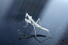"white mantis • <a style=""font-size:0.8em;"" href=""https://www.flickr.com/photos/36649847@N05/14607972310/"" target=""_blank"">View on Flickr</a>"