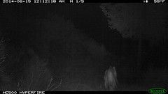 Mountain lion 6/15/2014 @12:11 - 12:12am (BobcatWeather) Tags: california mammal puma cougar mountainlion pumaconcolor motionsensor felidae cameratrap bobcatweather georgiastigall fwnp