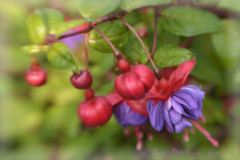 Fushia (Lensbaby Composer) (Lindaw9) Tags: flowers red summer green leaves purple blossoms buds fushia lensbabycomposer