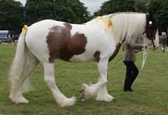 Shire & Clydesdale Class (messy_beast) Tags: horse shire essex draft maldon clydesdale draught langford