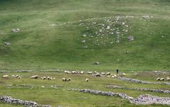 Shepherd's Flock (Warriorwriter) Tags: people mountains forest landscape photography nikon europe skiing culture canyon balkans blackmountain gora yugoslavia montenegro crnagora durmitor biogradskagora crna abljak