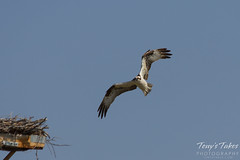 Osprey landing sequence - 2 of 14