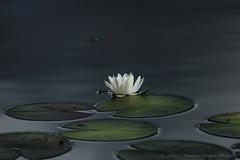 (markku mestila) Tags: waterlily