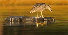 Orange Morning (cetch1) Tags: wild heron nature birds wildlife birding blackcrownednightheron nycticoraxnycticorax nightheron birdsofnortherncalifornia contempolagoon
