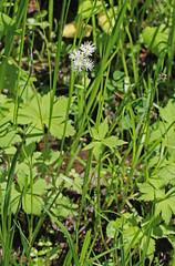 CAC004530a (jerryoldenettel) Tags: flower bush berry nm wildflower ranunculaceae chinaberry 2014 baneberry actaearubra actaea bugbane carsonnationalforest ranunculales dollseye eudicots rioarribaco fr686