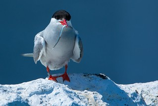 Arctic Tern 8 J