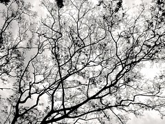 chaotic beauty of a life (dik wati) Tags: life bw tree beauty branches chaotic siborongborong tapanuliutara taput