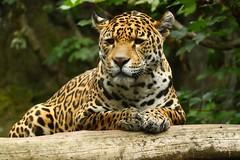 Jaguar, Edinburgh Zoo (Martin F Hughes) Tags: uk slr canon eos scotland highlands martin scottish jaguar hughes edinburghzoo 500d 100400 martinhughes