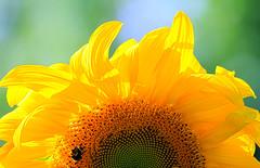 Sun Flower (Team Hymas) Tags: sun flower vancouver washington bee sunflower