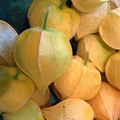 "Husk Cherries (Ground Cherries) • <a style=""font-size:0.8em;"" href=""http://www.flickr.com/photos/54958436@N05/14946102376/"" target=""_blank"">View on Flickr</a>"