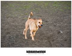 London (Christoph Lorenz Photography) Tags: orange dog playing ball happy austria mix nikon labrador lower lovely fullframe nikkor fx 70200 f28 d800 stockerau christophlorenzphotograpy hundefreilaufzone