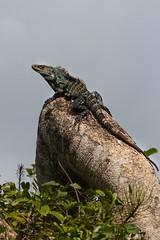 Garrobo Comn (@84_pae) Tags: costa rica comn garrobo ctenosaura similis