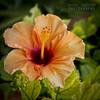 Orange hibiscus. (Andrea Rapisarda) Tags: orange naturaleza flower macro nature flora nikon zoom bokeh details natura hibiscus tele dettagli fiore d800 sfocato ©allrightsreserved nikon2470mmf28