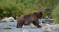 Hungry bear (raewynp) Tags: bear usa alaska stream eating wildlife salmon belly hungry sow brownbear ursusarctos katmai katmainationalpark specanimal coastalbrownbear
