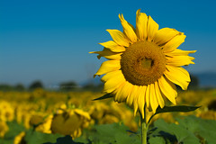 Sunflower - Girasole (Elisa Gabbrielleschi) Tags: hello sky white black green colors yellow landscape photo nikon istockphoto cielo da sunflower mm 50 istock fare girasole elisa girasoli 18105 2014 d7100 elisagabriel gabbrielleschi helloelisagabriel yuzaphoto