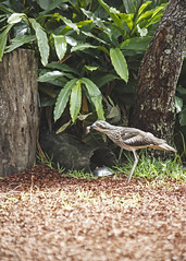 Bush Stone-curlew (fantommst) Tags: bird bush wildlife australia queensland stoned aus sanctuary currumbin curlew wader burhinusgrallarius qsd lisaridings fantommst