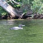 Gavia immer (Common Loon) thumbnail