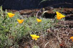 Anglų lietuvių žodynas. Žodis california poppy reiškia kalifornijos aguonų lietuviškai.