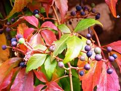 Autumn Leaf Time Willingham Sept 2014 C (symonmreynolds) Tags: autumn red leaf berries september willingham 2014