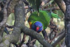 Birds in our City bush 0002 (Graeme Butler) Tags: city birds australia melbourne lorikeets ravens