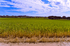 Wheat (Spacemonkey1999) Tags: blue sky cloud green field clare southaustralia