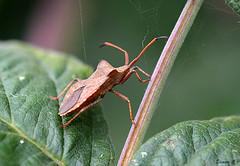Bug on the Move! (Eleanor (No multiple invites please)) Tags: london leaves bug web shieldbug hendon welshharp bronzeshieldbug 85mmmacrolens nikond7100 september2014