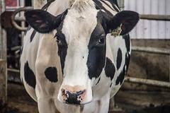 Vache (ChristinaC.Photographe) Tags: animals cow animaux ferme vache septembre2014