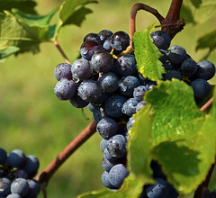 Dal  grappolo  al  bicchiere ... presto sar  un  ottimo Barolo (Giuliana 57) Tags: piemonte uva vigne lamorra langhe langa vigneti filari nebbiolo sudore grappoli nikond5200 langheeroero giulana57 giulianacastellengo