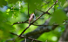 Least Flycatcher (Empidonax minimus) singing - my first breeding season record for this species at Westboro WMA (Steve Arena) Tags: nikon singing massachusetts breeding record d750 westboro wma songbird chauncy flycatcher westborough songbirds 2015 empidonax worcestercounty leastflycatcher empidonaxminimus lefl empic westborowma littlechauncy