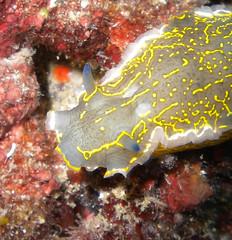 bright colors (Sentieri) Tags: sea mare sub dive micro subacquea foto photo under water underwater scubadive nikon coolpix colors nudibranco nudibranch gray yellow blue