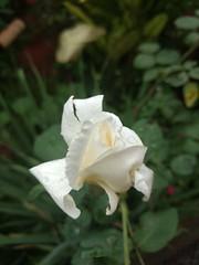 20170125_191507 (Rodrigo Ribeiro) Tags: flower flores nature natureza jardim jardinagem backyard garden gardening