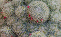13 marzo 2017... anche le cactacee adorano i frattali (adrianaaprati) Tags: piante cactacee cactus succulents plant spines frattali fractals sezioneaurea goldensection pattern wildlife