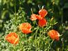 Natur Blumen kwiaty Insekten (arjuna_zbycho) Tags: natur blimen kwiaty flowers insekten badenbeiwien niederösterreich mak maki makpolny czerwonemaki kwiatypolne mohn mohnblumen coquelicots pavots popyflower popy klatschmohn papaverrhoeas mohnblume klatschrose cornpoppy cornrose fieldpoppy flanderspoppy redpoppy redweed közönségespipacs vetésipipacs papaverocomune rosolaccio gatunekleczniczy heilpflanze hausmittel kwiat blume flower fleur popies fleurs flora