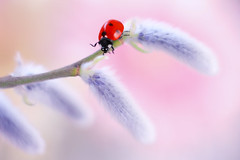 Hello, Spring! (ElenAndreeva) Tags: flowers red forest beauty color sun light summer bokeh cute lovely colors dof insect canon garden top colorful composition sweet focus bug natural best amazing nature macro flower spring ledybug tones today naturephoto rose canon100 fantasy soft