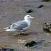 Glaucous-winged Gull (Max Benningfield) Tags: